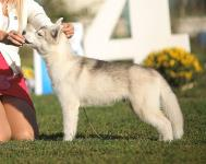 Sunday, September 23, 2018: Paristan at CAC-UA «South Palmira - 2018» dog show