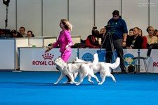 Sunday, December 8, 2019: Paristan & Azura as a Reserved Best Breeding Pair of the Show (2 of 21) at the FCI-CACIB Crystal Cup of Ukraine 2019 dog show (Ukraine, Kyiv)